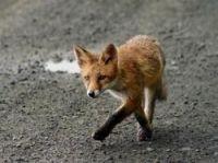 Foxes spotted in Paris - Photo: Daniel Kühne - Fotolia.com