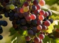 Grapes in Roussillon