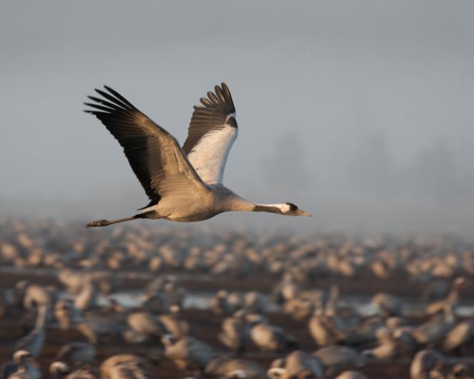 A common crane.