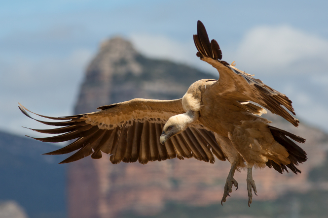 A griffon vulture.