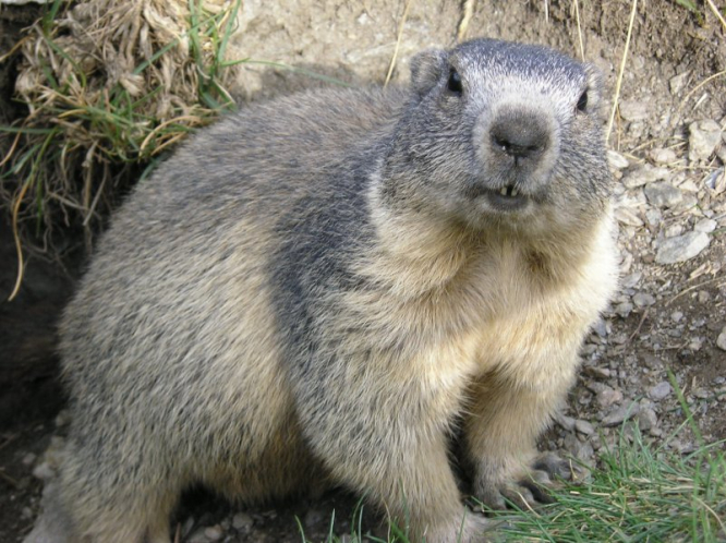 An alpine marmot.