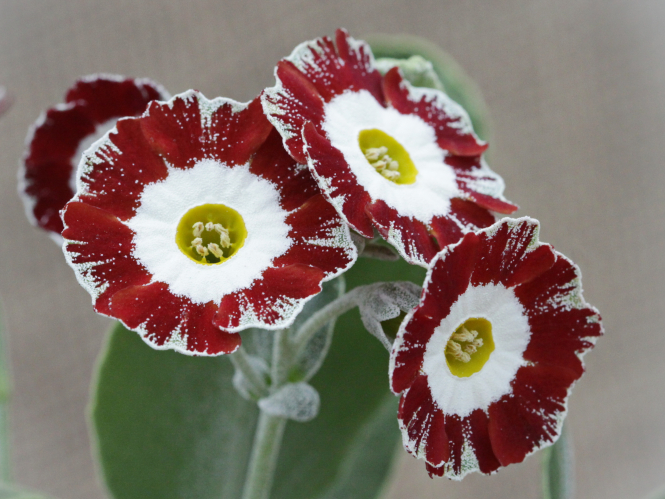 group of dark red flowers with yellow and white centres
