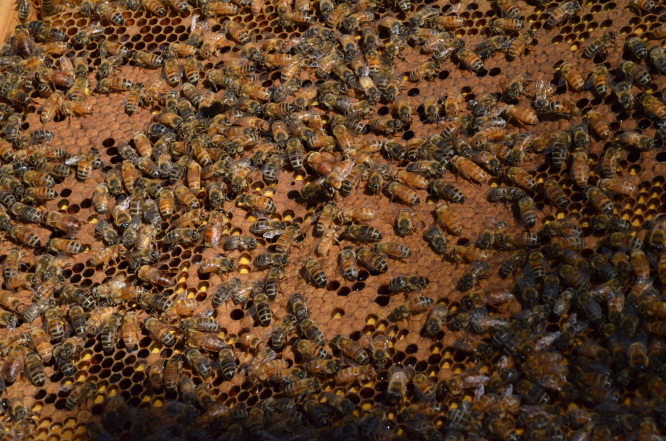 Bees from Le Rucher du Marandou. Photo by Jane Hanks.
