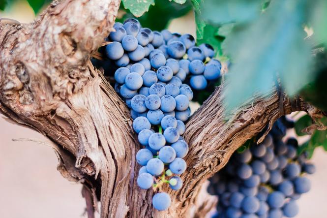 Black grapes rest on a vine in Manzanares, Spain. Photo by Nacho Domínguez Argenta on Unsplash.
