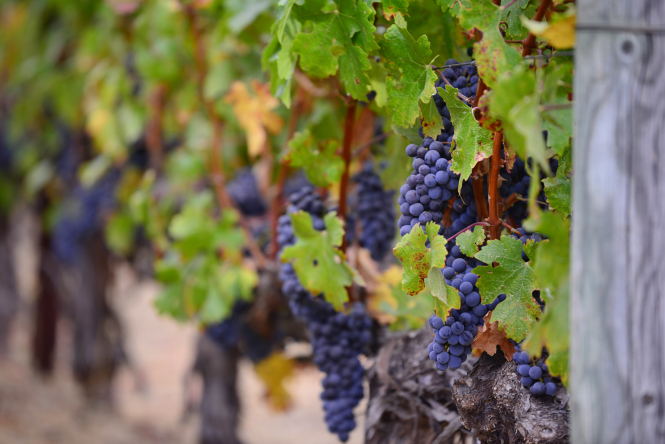 Black grapes thriving in a vineyard despite coronavirus strains on wine tourism.