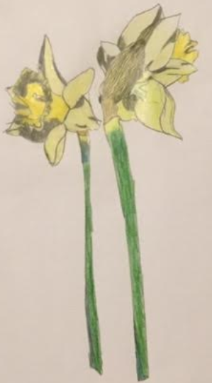 Children's art winner: Daffodils by Amy Ferguson, aged 9