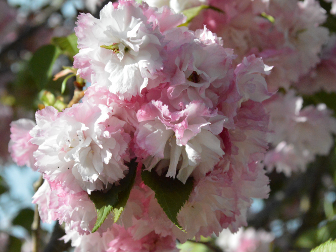Flowering cherries in Corinne and Nick Sutton's garden.