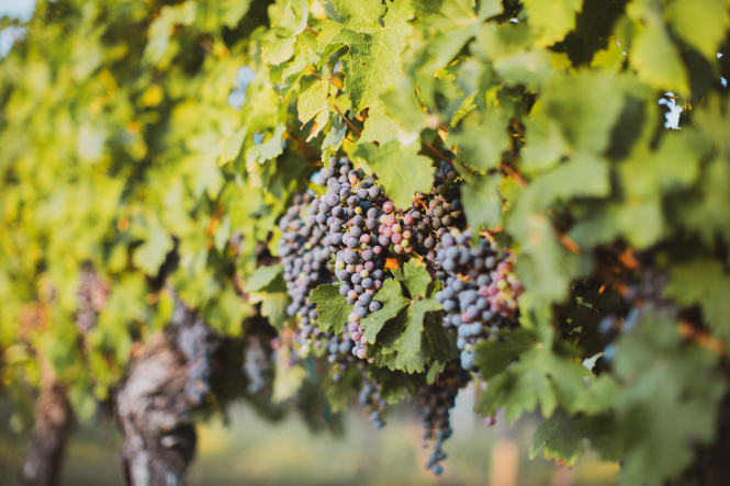 Old vines in the Dordogne near Bergerac.