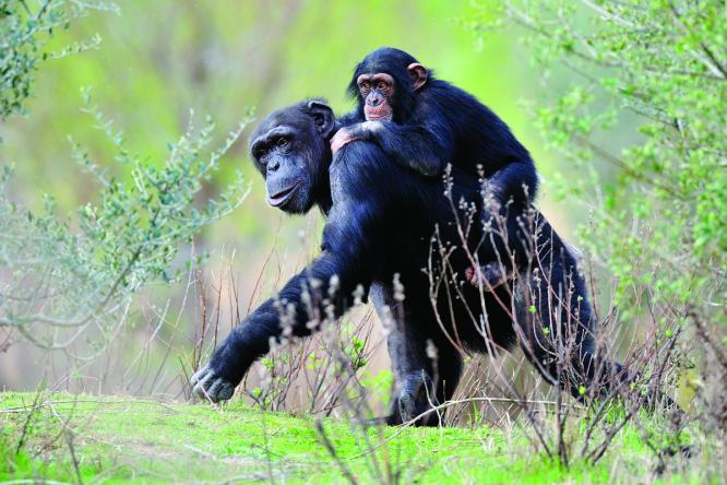 Photo (c) courtesy of Sigean chimpanzeRASAJ
