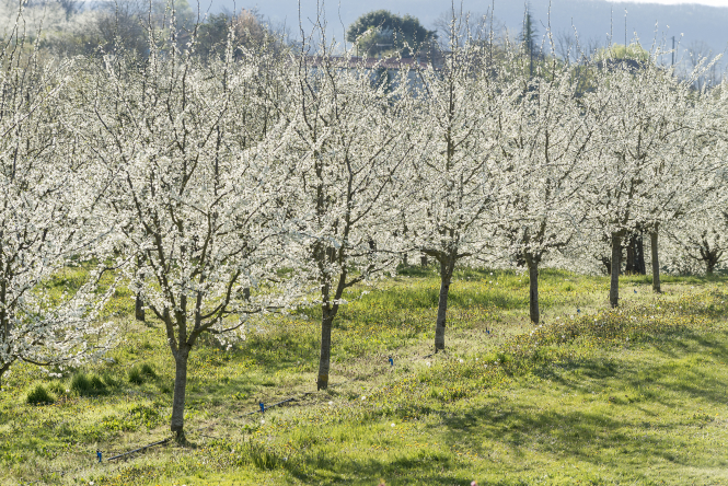 Plum trees in blossom