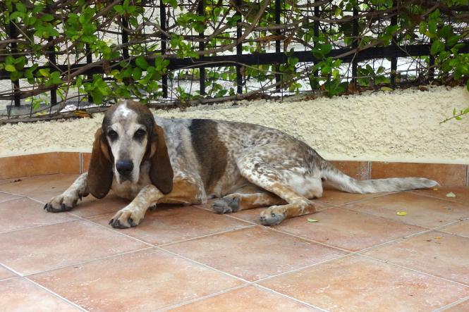 Sammie, a Gascony Blue breed.