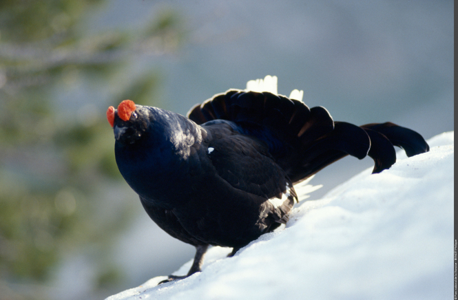 Skiing can endanger such wild birds as black grouse, the rock ptarmigan or bearded vulture