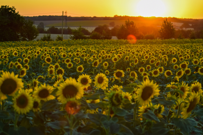A summer sunset over a sunflower field in rural Charente.