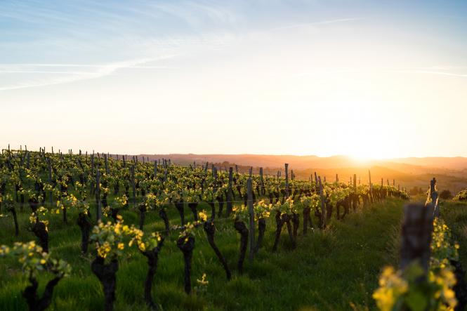 Vineyard in Carcassonne, Occitanie, France.