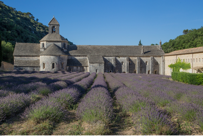 Lavender grown at the Abbé de Sénanque