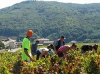 Grape harvest has started in Beaujolais - Photo: Joan / Toulouse