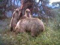 Bear cubs with mother Hvala - Photo: Conselh Generau d'Aran