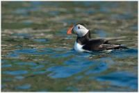 The puffin population suffered in the recent storms
