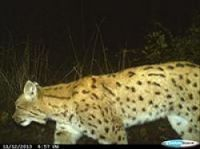Sighting confirms presence of Eurasian lynx in Franche-Comté region for first time
