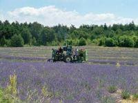 Lavender harvest - Photo: Véronique PAGNIER