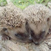 Hedgehogs may delay housing plan – but you can house one by sponsorship at www.tinyurl.com/cnx-heris