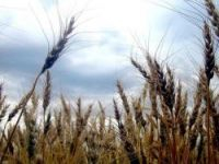 GM maize harmless says food watchdog