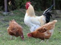 Chicken plan hatched to cut down on rubbish - Photo: Fotokon - Fotolia.com