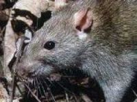 Bid to clear Paris of rats