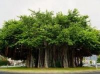 Banyan tree grows on a roundabout - ONF-Terre Sauvage