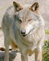 There are thought to be 200 wolves in France