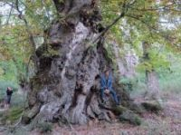 The winning Corsican sweet chestnut