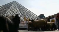 Is that a Ram-brandt? Sheep at the Louvre before the protest