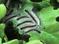 Warnings on caterpillar danger