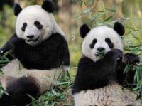 Giant pandas Huan Huan and Yuan Zi