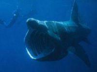Basking shark - Photo: Chris Gotschalk