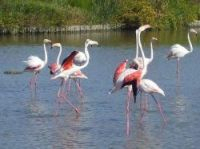 Pink flamingoes on the Camargue - Photo: Sonia Marotta
