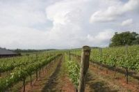 The bacterial disease flavescence dorée can threaten entire vineyards