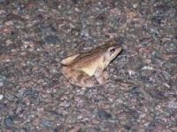 Frogs and other amphibians are migrating right now