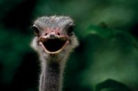 An ostrich (image for illustration only)