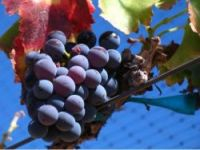 Two vineyard owners organise major international conference on the grape variety
