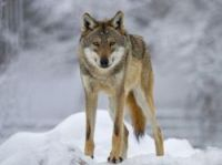 Up to 11 wolves can be killed - Photo: rafi - Fotolia.com
