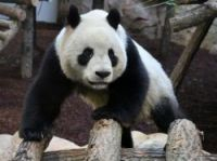Visitor numbers expecting to soar as giant pandas go on display