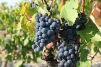 Wine exports will be hit by a small grape yield in 2013