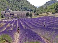 France produces over 50% of the world's lavender