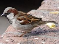 House sparrow numbers have been badly hit