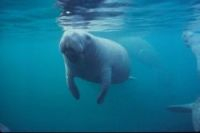 A manatee (picture for illustration only)