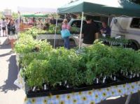 Tomato plants could be hit by a new tax