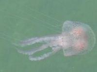 Purple stinging jellyfish - Photo: Ken Seaton