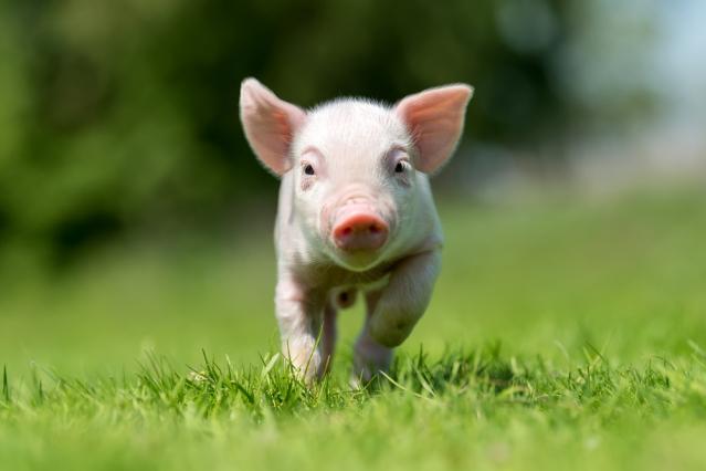 A piglet running through a field