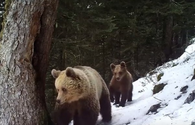 two bears, mother and cub, walk towards camera in snowy forest